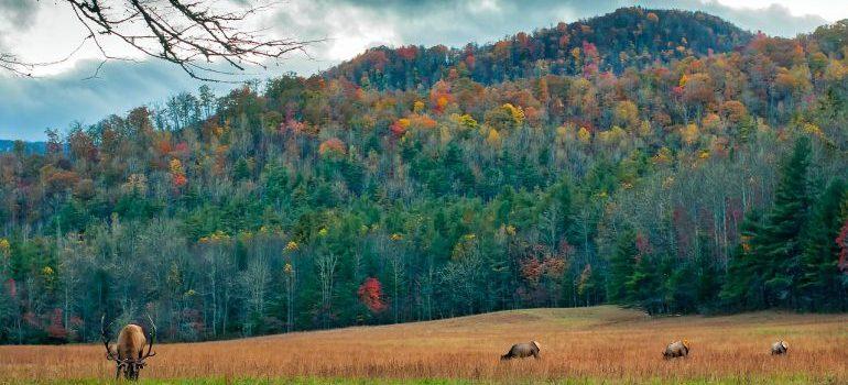 North Carolina- Deer, elk on the meadow